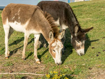 Donkeys grazing grass Royalty Free Stock Photography