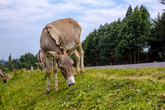 Donkeys grazing Royalty Free Stock Image