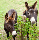 Donkeys grazing Royalty Free Stock Photos