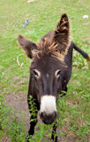 Donkeys grazing Royalty Free Stock Images
