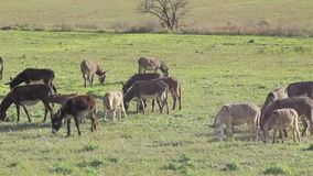 Donkeys grazing on pasture in the morning stock footage