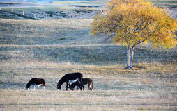 Donkeys grazing on the prairie in autumn Royalty Free Stock Images