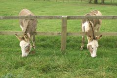 Donkeys grazing through a wooden fence Royalty Free Stock Photos