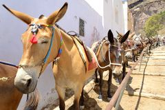The donkeys. A group of donkeys is waiting for tourists to upload them to the village Royalty Free Stock Photo