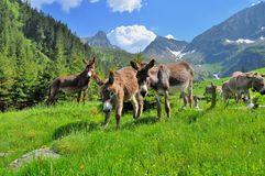 Donkeys on the high mountains Stock Photography