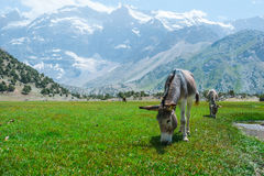 Donkeys on the highland meadow. Royalty Free Stock Photos