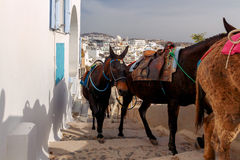 Donkeys for horse riding in the village Fira. Royalty Free Stock Image