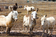 Donkeys and horse to pet Stock Images