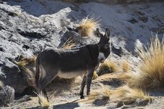 Free Donkeys In The Vastness Of The Altiplano Stock Image - 56797831