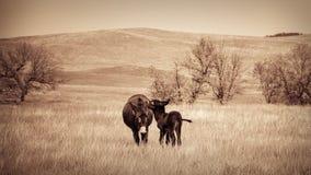 Donkeys kissing. Two donkeys kissing in field Stock Photos