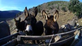 Donkeys Royalty Free Stock Photo