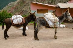 Donkeys in the Maras Salt Mines Stock Images