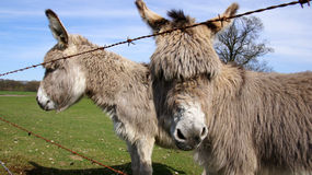 Donkeys in a meadow Royalty Free Stock Photo