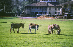 Donkeys in the Monza Park Stock Photos