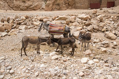 Donkeys in Morocco Royalty Free Stock Photo