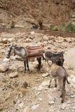 Donkeys in Morocco Stock Photo