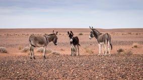 Donkeys in Morrocan part of Sahara desert. Small family of donkeys in the Morrocan part of the Sahara desert Stock Images