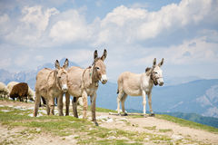 Donkeys in mountain Royalty Free Stock Image