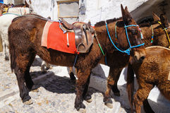 Donkeys and mules equipped with traditional bridles,Santorini,Gr Stock Image