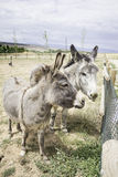 Donkeys in nature Royalty Free Stock Images