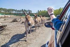Donkeys near the car in Serengeti park, Germany. Zoo, wildlife. Donkeys are walking near the car in Serengeti park, Germany. Zoo, amimal, wildlife Stock Photo
