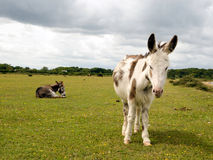 Donkeys. Near Janesmoor Pond, New Forest National Park Royalty Free Stock Image