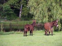 Donkeys near a pond Stock Image