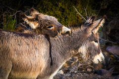Donkeys in Oatman  Stock Photography