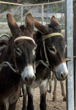 Donkeys in a paddock Stock Photography