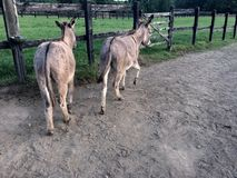 Donkeys in a Paddock Stock Images