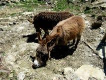 Donkeys Royalty Free Stock Photos