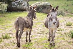 Donkeys. A pair of donkeys in Sardinia royalty free stock photography
