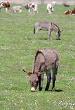 Donkeys on pasture Royalty Free Stock Photography