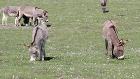 Donkeys on pasture