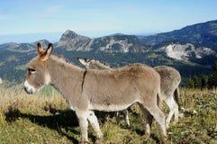 Donkeys on a pasture Stock Photos