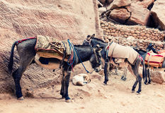 Donkeys at Petra Royalty Free Stock Images
