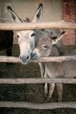 Donkeys. Picture of donkeys, mother and son in tenderness Stock Photo