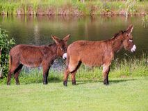 Donkeys with pond in background Royalty Free Stock Images