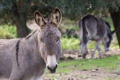 Donkeys. Portrait of a donkey in Gallura, Sardinia royalty free stock photos