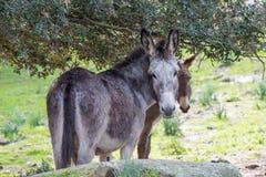Donkeys. Portrait of a donkey in Gallura, Sardinia stock images