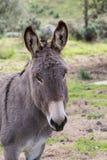 Donkeys. Portrait of a donkey in Gallura, Sardinia stock image