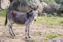 Donkeys. Portrait of a donkey in Gallura, Sardinia royalty free stock photography