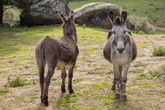 Donkeys. A portrait of a donkeys in Sardinia royalty free stock images