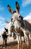 Bedouin donkey. Donkeys for riding tourists, Bedouin parked in the Judean Desert Royalty Free Stock Image