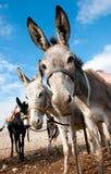 Bedouin donkey. Royalty Free Stock Image