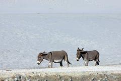Donkeys  on  road Stock Photo