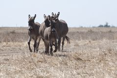 Donkeys run to the steppe royalty free stock images