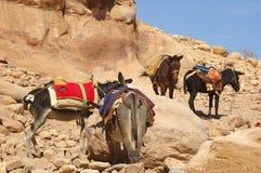 Donkeys rural life. Donkeys amongst the sandstone desert landscape of petra jordan Stock Image