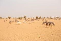 Donkeys in the Sahara desert, in Mauritania Stock Photography