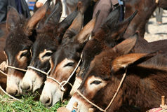 Donkeys For Sale. On Kashgar sunday livestock market Royalty Free Stock Photos